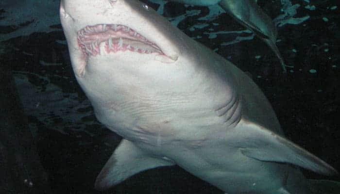 shark showing rows of teeth